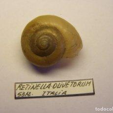Coleccionismo de moluscos: CARACOL SNAIL SHELL RETINELLA OLIVETORUM. ITALIA.. Lote 210489736