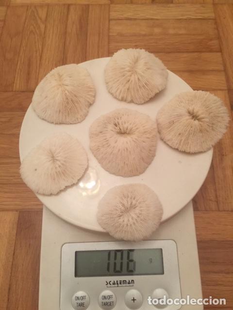 Coleccionismo de moluscos: taxidermia.- Bella Composición de Corales Blancos 6 ejemplares (fungia fungites.) Corales Seta - Foto 10 - 212966946