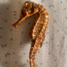 Collectionnisme de mollusques: CABALLITO DE MAR. Lote 213261245
