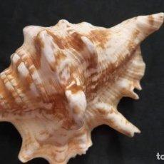 Collezionismo di molluschi: CONCHA DE CARACOLA 10CM (100). Lote 215896528