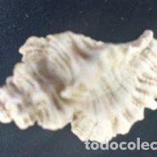 Coleccionismo de moluscos: CONCHA OCENEBRA ERINACEUS. 3.5 * 2.00 CMS.. Lote 217235031