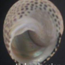 Coleccionismo de moluscos: CONCHA GIBBULA DIVARICATA. 2.20 * 1.50 CMS.. Lote 217236021