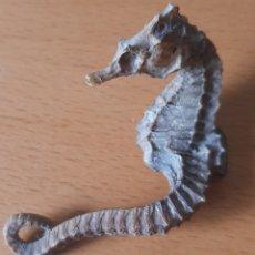 Coleccionismo de moluscos: CABALLITO DE MAR DISECADO - AÑOS 80 O ANTERIOR. Lote 218658316