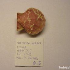 Colecionismo de moluscos: BIBALVO SHELL PROPECTEN GLABER. ITALIA.. Lote 219569350