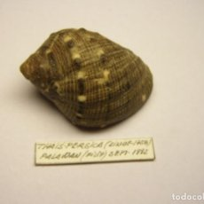 Collectionnisme de mollusques: CARACOL SNAIL SHELL THAIS PERSICA. FILIPINAS.. Lote 219646930