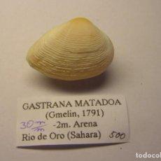Collezionismo di molluschi: BIBALVO SHELL. GASTRANA MATADOA. SAHARA.. Lote 219917515