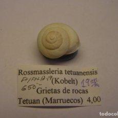 Collezionismo di molluschi: CARACOL SNAIL SHELL ROSSMASSLERIA TETUANENSIS. MARRUECOS.. Lote 220257498