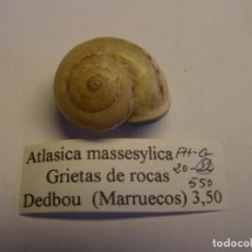 Colecionismo de moluscos: CARACOL SNAIL SHELL ATLASICA MASSESYLICA. MARRUECOS.. Lote 220258527