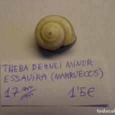 Colecionismo de moluscos: CARACOL SNAIL SHELL THEBA DEHNEI MINOR. MARRUECOS.. Lote 220260328