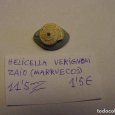 Colecionismo de moluscos: CARACOL SNAIL SHELL HELICELLA VERIGNONI. MARRUECOS.. Lote 220261297