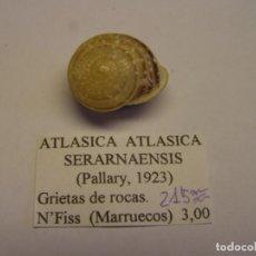 Colecionismo de moluscos: CARACOL SNAIL SHELL ATLASICA ATLASICA SERARNAENSIS. MARRUECOS.. Lote 220261655