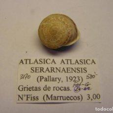 Colecionismo de moluscos: CARACOL SNAIL SHELL ATLASICA ATLASICA SERARNAENSIS. MARRUECOS.. Lote 220261936