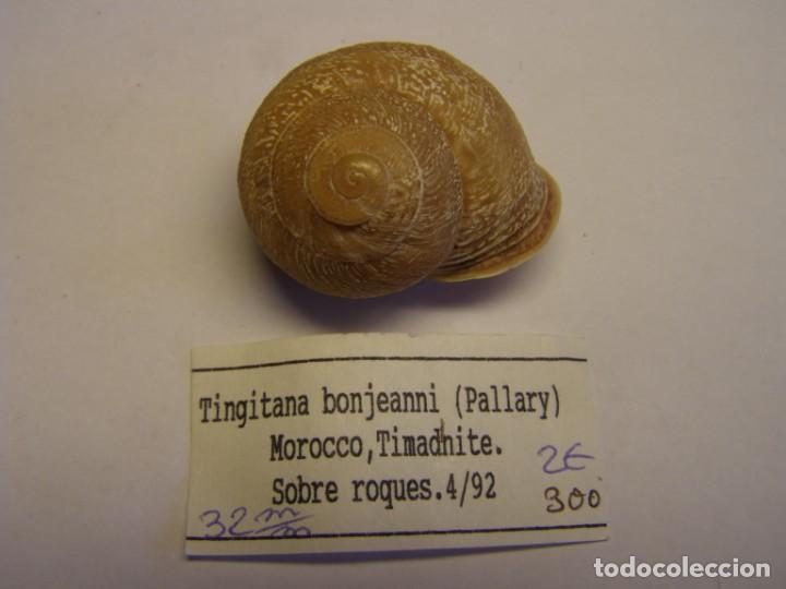 CARACOL SNAIL SHELL TINGITANA BONJEANNI. MARRUECOS. (Coleccionismo - Malacología )