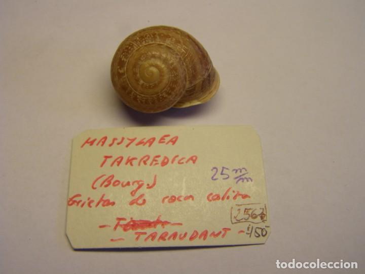 CARACOL SNAIL SHELL MASSYLAEA TAKREDICA. MARRUECOS. (Coleccionismo - Malacología )