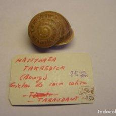 Colecionismo de moluscos: CARACOL SNAIL SHELL MASSYLAEA TAKREDICA. MARRUECOS.. Lote 220292630