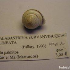 Colecionismo de moluscos: CARACOL SNAIL SHELL ALABASTRINA SUBVAVINCQUIAE LINEATA. MARRUECOS.. Lote 220293160