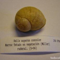 Colecionismo de moluscos: CARACOL SNAIL SHELL HELIX ASPERSA CONCOLOR. MARRUECOS.. Lote 220293412