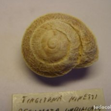 Collectionnisme de mollusques: CARACOL SNAIL SHELL TINGITANA MINETTI DECUSSATA UMBILICATA. MARRUECOS.. Lote 220293766
