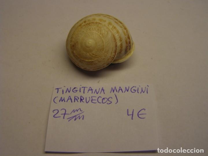 CARACOL SNAIL SHELL TINGITANA MANGINI. MARRUECOS. (Coleccionismo - Malacología )