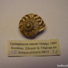Colecionismo de moluscos: CARACOL SNAIL SHELL CYCLOPHORUS REEVEI. FILIPINAS.. Lote 220888536