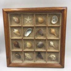 Coleccionismo de moluscos: CUADRO MALACOLOGÍA ENMARCADO. Lote 221729955