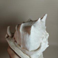 Coleccionismo de moluscos: GRAN CARACOLA 1,5 KILOS .CASSIS CORNUTA .-REF-DC. Lote 221922066
