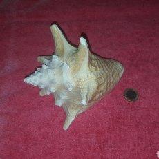 Coleccionismo de moluscos: CARACOLA 18 CM. Lote 222184337