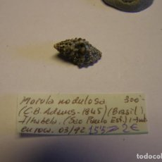 Collezionismo di molluschi: CARACOL SHELL SNAIL MORULA NODULOSA. BRASIL.. Lote 222455751