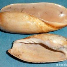 Coleccionismo de moluscos: 2 CARACOLAS. Lote 223138608
