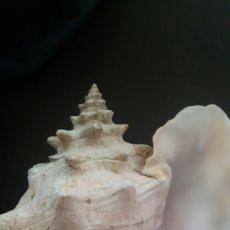 Coleccionismo de moluscos: CARACOLA MARINA GIGANTE. Lote 224908302