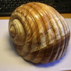 Coleccionismo de moluscos: CARACOL SNAIL SHELL TONNA LUTEOSTOMA. CHINA.. Lote 225789310