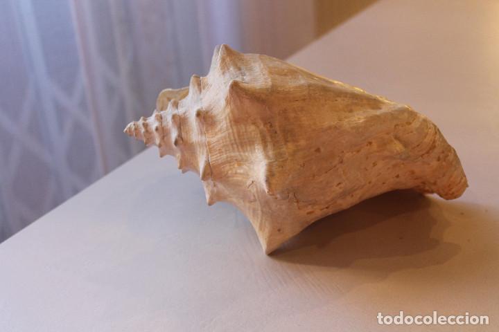 Coleccionismo de moluscos: GRAN CARACOLA, 25 CM DE LARGO, 15 CM DE ANCHO, PESO 1 KG CON 80 GRAMOS - Foto 3 - 226497645