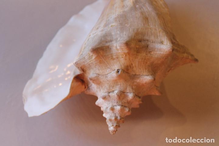 Coleccionismo de moluscos: GRAN CARACOLA, 25 CM DE LARGO, 15 CM DE ANCHO, PESO 1 KG CON 80 GRAMOS - Foto 5 - 226497645