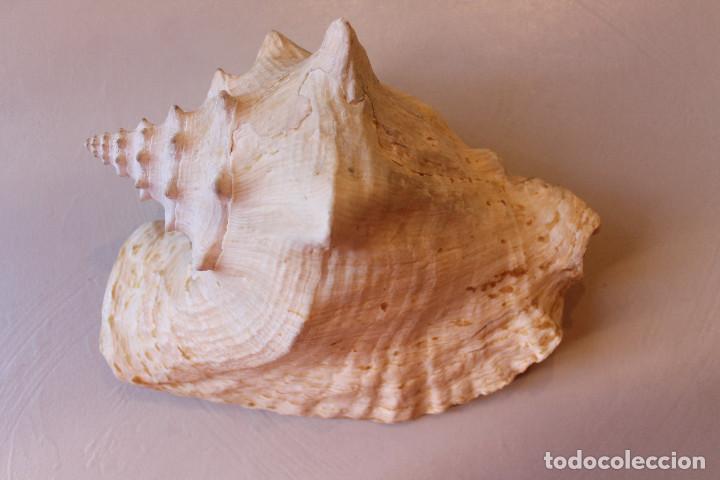 Coleccionismo de moluscos: GRAN CARACOLA, 25 CM DE LARGO, 15 CM DE ANCHO, PESO 1 KG CON 80 GRAMOS - Foto 7 - 226497645