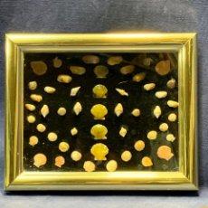Coleccionismo de moluscos: COLECCION MOLUSCOS CONCHAS MALACOLOGIA MUY PEQUEÑAS ENMARCADAS DECORACION 18X22CMS. Lote 226646750