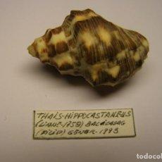 Colecionismo de moluscos: CARACOL SNAIL SHELL THAIS HIPPOCASTANEUS. FILIPINAS.. Lote 227086495