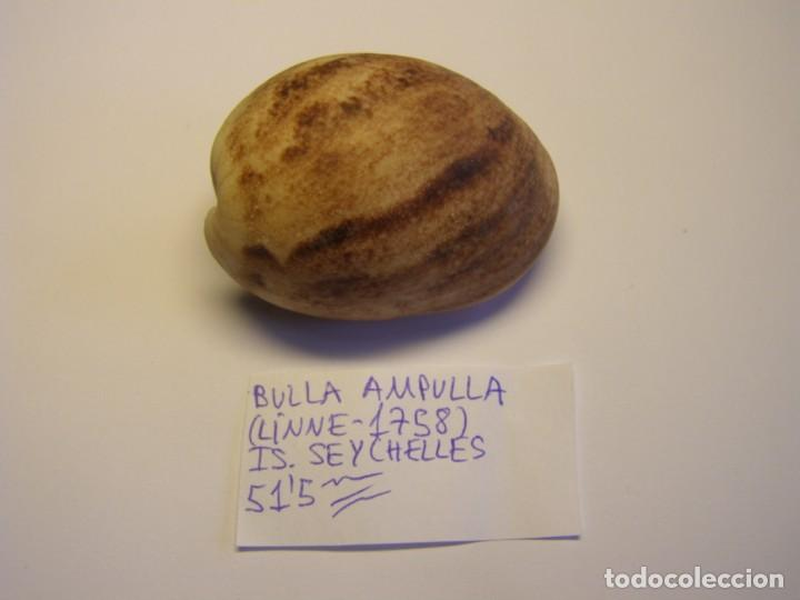 CARACOL SNAIL SHELL BULLA AMPULLA. ISLAS SEYCHELLES. (Coleccionismo - Malacología )