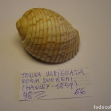 Colecionismo de moluscos: CARACOL SNAIL SHELL TONNA VARIEGATA, FORMA DUNKERI.. Lote 227222721