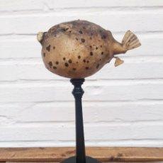Coleccionismo de moluscos: PEZ GLOBO DISECADO CON PEANA MADERA. TAXIDERMIA, DISECADO, MALACOLOGIA.. Lote 229050160