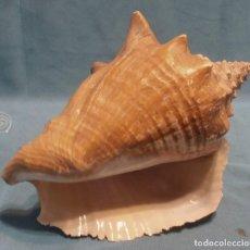 Coleccionismo de moluscos: CARACOLA GRANDE. Lote 231425010