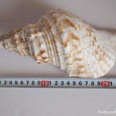 Coleccionismo de moluscos: GRAN CARACOLA, CARACOL MARINO, 24 CM, MALACOLOGIA. Lote 233378960