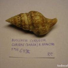 Collezionismo di molluschi: CARACOL SNAIL SHELL BUCCINULUM CORNEUM. GARRAF, BARCELONA.. Lote 233474440