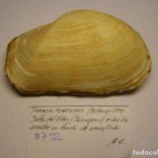 Colecionismo de moluscos: BIVALVO SHELL THRACIA PUBESCENS, DELTA DEL EBRO, ESPAÑA.. Lote 233475020