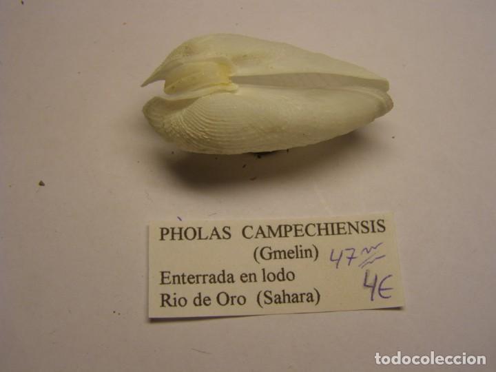 BIVALVO SHELL PHOLAS CAMPECHIENSIS. SAHARA. (Coleccionismo - Malacología )