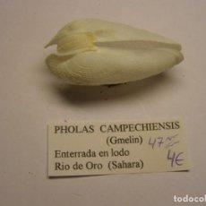 Colecionismo de moluscos: BIVALVO SHELL PHOLAS CAMPECHIENSIS. SAHARA.. Lote 233478740