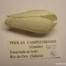 Collezionismo di molluschi: BIVALVO SHELL PHOLAS CAMPECHIENSIS. SAHARA.. Lote 233478870