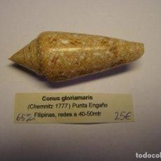 Collezionismo di molluschi: CARACOL SNAIL SHELL CONUS GLORIAMARIS. FILIPINAS.. Lote 234622975