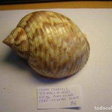 Collectionnisme de mollusques: CARACOL SNAIL SHELL TONNA CHINENSIS. CEBU.. Lote 234625790