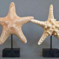 Coleccionismo de moluscos: LOTE DE 4 GRANDES ESTRELLAS DE MAR.. Lote 235788675