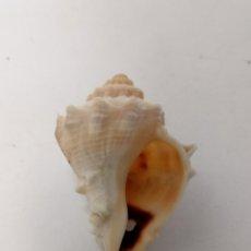 Coleccionismo de moluscos: CARACOL MARINO RAPANA VERACRUZ MÉXICO. Lote 236924580